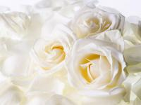white_roses_flower_wallpaper (1).jpeg
