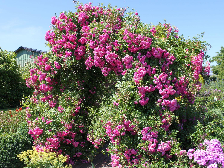 роза рамблер розового цвета фото