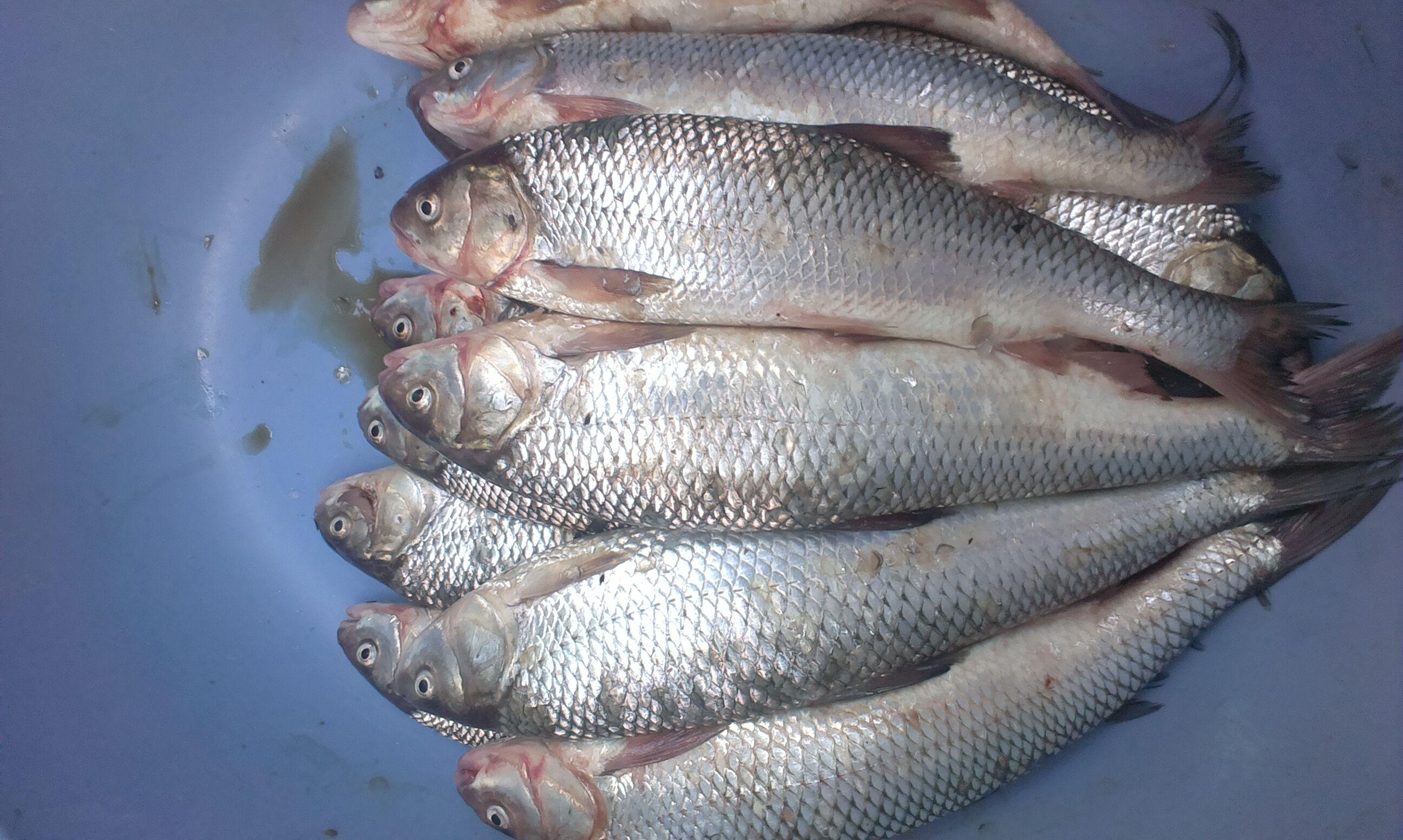 нравятся ответственные каспийская рыба кутум фото предпочитает