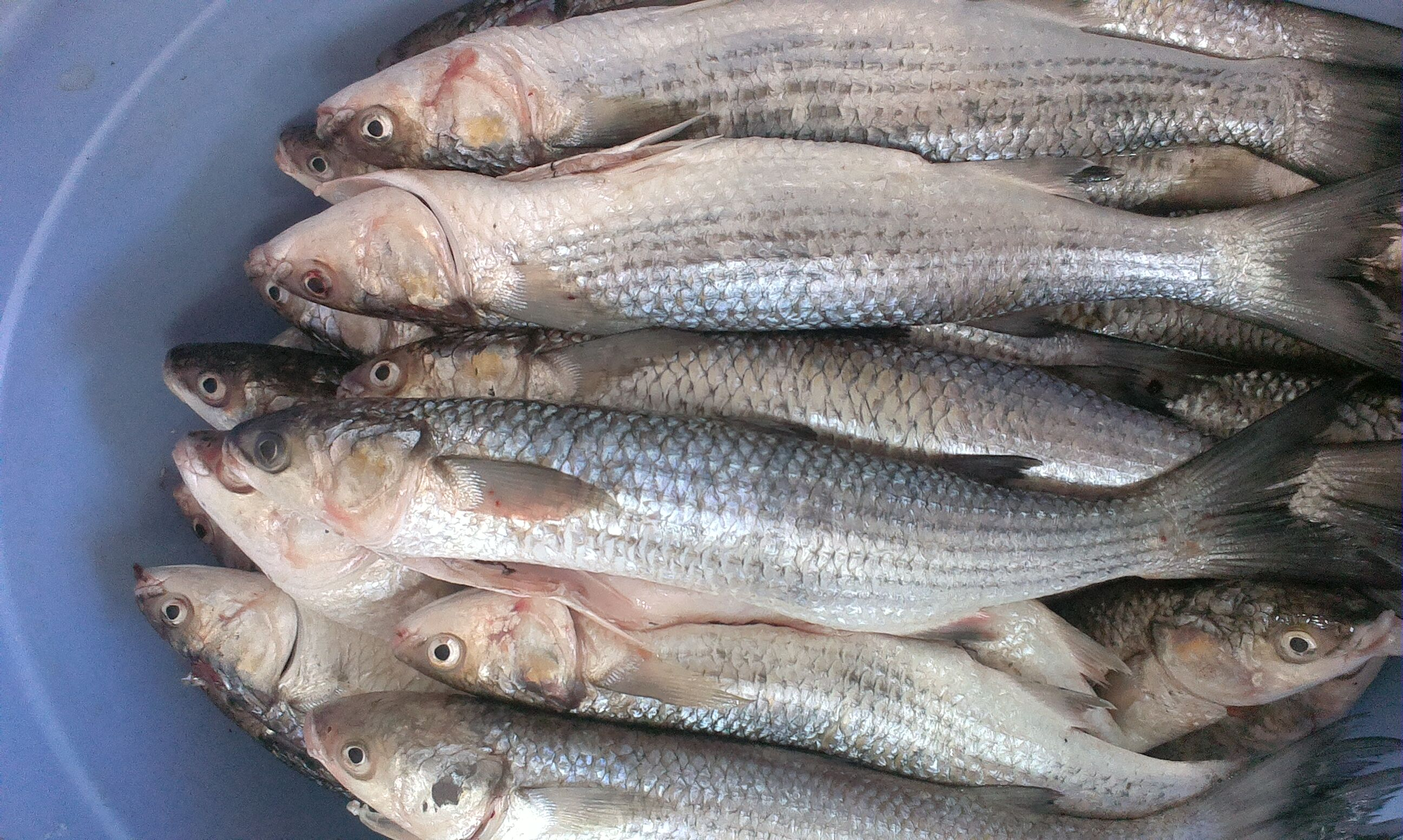 Каспийская рыба кутум фото